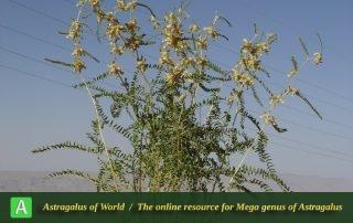 Astragalus saetiger - Photo by Mozaffarian