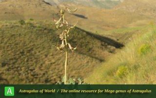 Astragalus safavii 2 - Photo by Bidar