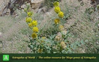 Astragalus schahrudensis - Photo by Joharchi