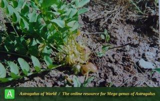 Astragalus schemachensis - Photo by Maassoumi