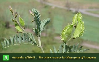 Astragalus schmalhausenii - Photo by Ramazani