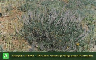 Astragalus sciureus 2
