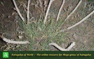 Astragalus-sciureus-3-Photo-by-Eftekhar