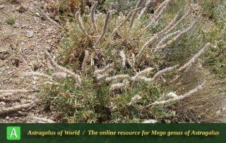 Astragalus-sciureus-Photo-by-Eftekhar-scaled