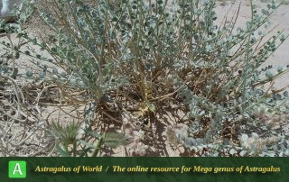 Astragalus semnanensis 3 - Photo by Maassoumi