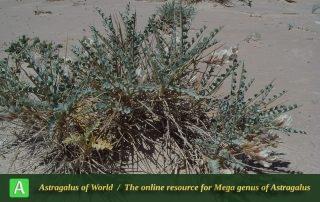 Astragalus semnanensis 4 - Photo by Maassoumi