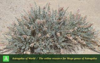 Astragalus semnanensis 5 - Photo by Taherian