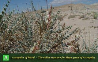Astragalus semnanensis - Photo by Maassoumi