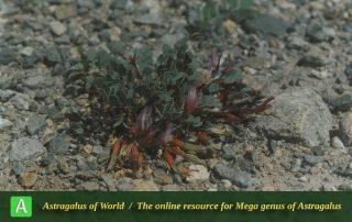 Astragalus siahcheshmehensis - Photo by Maassoumi