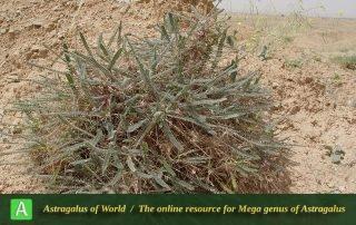 Astragalus sieberi - Photo by Mozaffarian