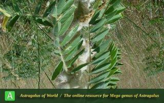 Astragalus sieversianus 2 - Khorassan