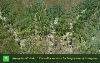 Astragalus sieversianus 3 - Khorassan 050