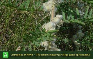 Astragalus sieversianus 4 - Khorassan