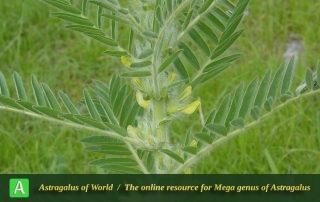 Astragalus sieversianus - Photo by Joharchi