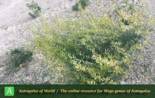 Astragalus siliquosus subsp. siliquosus 2