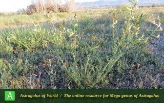 Astragalus siliquosus subsp. siliquosus - Photo by Maassoumi