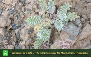 Astragalus singarensis 2 - Photo by Tavakoli