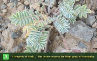 Astragalus singarensis - Photo by Tavakoli