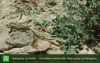 Astragalus spachianus - Photo by Mozaffarian