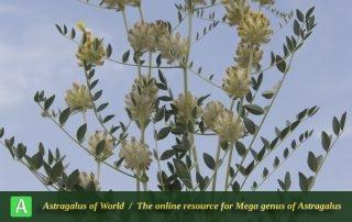 Astragalus-speciosus-2-Photo-by-Mozaffarian-rotated