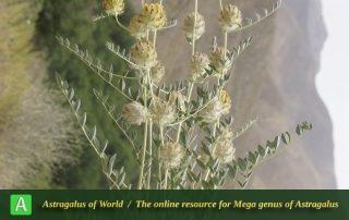 Astragalus-speciosus-Photo-by-Mozaffarian