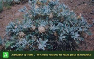 Astragalus stenolepis
