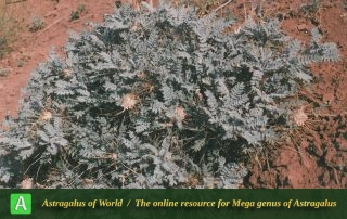 Astragalus stenolepis 2 - Photo by Maassoumi