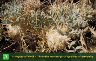 Astragalus stenolepis 3 - Photo by Eftekhar