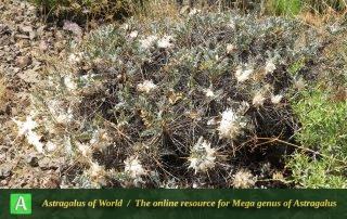 Astragalus stenolepis 4 - Photo by Bidar
