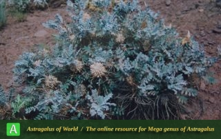 Astragalus stenolepis 6