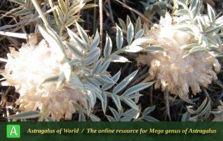 Astragalus stenolepis 7 - Photo by Eftekhar