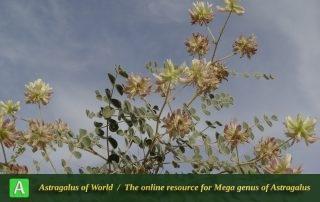 Astragalus stepporum - Photo by Mozaffarian