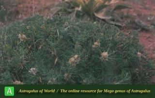 Astragalus strictifolius - Photo by Maassoumi