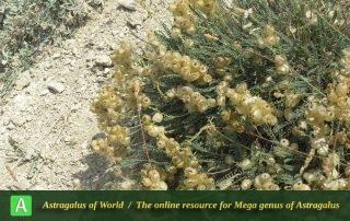 Astragalus submitis 2 - Photo by Bidar