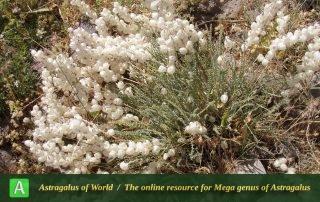 Astragalus-submitis-3-Photo-by-Eftekhar