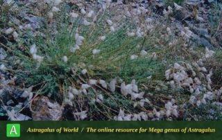 Astragalus submitis 4
