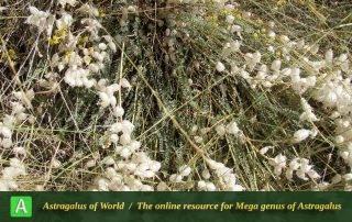 Astragalus-submitis-6-Photo-by-Bidar