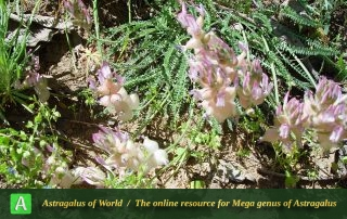 Astragalus-submitis-8-Photo-by-Maassoumi