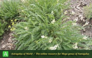 Astragalus subsecundus 2 - Photo by Eftekhar