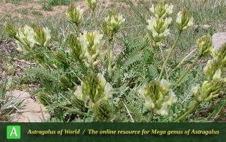 Astragalus subsecundus 3 - Photo by Mozaffarian