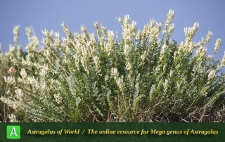 Astragalus subsecundus 4 - Photo by Mozaffarian