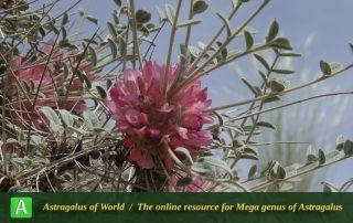 Astragalus sumarensis - Photo by Mozaffarian