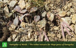 Astragalus supervisus 2 - Photo by Bidar