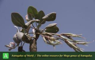 Astragalus supervisus 3 - Photo by Mozaffarian