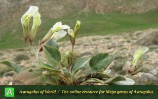 Astragalus supervisus - Photo by Bidar