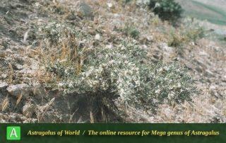 Astragalus susianus 2 - Photo by Maassoumi