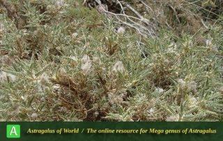 Astragalus susianus - Photo by Mozaffarian