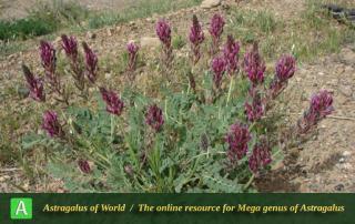 Astragalus tahbaziae - Photo by Batooli