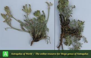 Astragalus taleshensis - Photo by Bidar