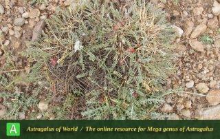 Astragalus talimansurensis Photo by Eftekhar